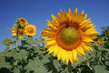 Sunflowers Стоковое фото RF