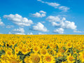 Sunflowers. Royalty Free Stock Image