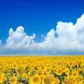Sunflowers. Royalty Free Stock Photos