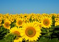 Sunflowers. Stock Image