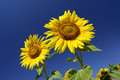 Sunflowers Royalty Free Stock Image