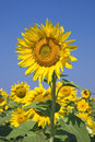 Sunflowers against blue sky Royalty Free Stock Photos