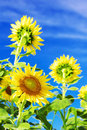 Sunflowers against blue sky with clouds Royalty Free Stock Photo