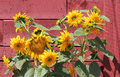 Sunflowers against a redwood barn Royalty Free Stock Photo