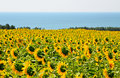 Sunflowers against the sea Royalty Free Stock Photo