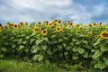 Sunflowers on a background cloudy sky Royalty Free Stock Photo