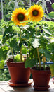 Sunflowers on the balcony Royalty Free Stock Photo