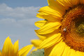 Sunflowers and bee Royalty Free Stock Photo
