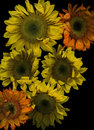 Sunflowers on black orange and yellow background Stock Photography
