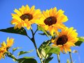 Sunflowers bloom Royalty Free Stock Photo