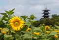 Sunflowers in bloom with wooden pagoda Royalty Free Stock Photo