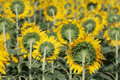 Sunflowers blooming in field Royalty Free Stock Image