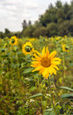 Sunflowers blooming in a field edge Royalty Free Stock Photo