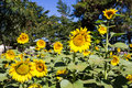 Sunflowers In The Field At Sun...