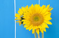 Sunflowers on blue against a bright fence Royalty Free Stock Images