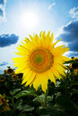 Sunflowers with blue sky Stock Photos