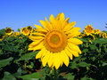 Sunflowers And Blue Sky Royalty Free Stock Photography