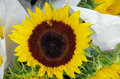 Sunflowers bunched for market Royalty Free Stock Photo