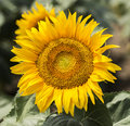 Sunflowers close up in a field Royalty Free Stock Photo
