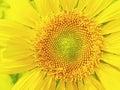 Sunflowers close up of yellow Stock Photos