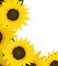 Sunflowers corner sunflower design with copy space Royalty Free Stock Photography