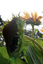Sunflowers crop of in russia Stock Photos