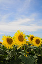 Sunflowers cultivation of for the production of oil and biodiesel Royalty Free Stock Images