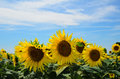 Sunflowers cultivation of for the production of oil and biodiesel Stock Photos