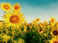 Sunflowers farm blossom beautiful flowers Stock Photos