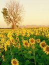 Sunflowers farm blossom beautiful flowers Royalty Free Stock Photo