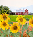Sunflowers and farm landscape rural with in the foreground a red barn in the background Stock Photography