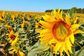 Sunflowers on a field Royalty Free Stock Photo