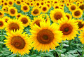 Sunflowers on a field Stock Images