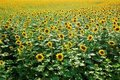 Sunflowers Field Royalty Free Stock Images
