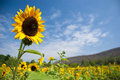 Sunflowers field and blue clear sky Stock Image