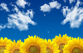 Sunflowers field of and blue sky Stock Image