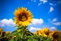 Sunflowers field bright blue sky horizontal shot Royalty Free Stock Image