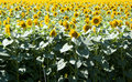 Sunflowers field in the center of russia Royalty Free Stock Images