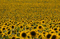 Sunflowers field with dof effect natural landscape the Royalty Free Stock Images
