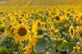 Sunflowers field dof of for oil production Stock Photo