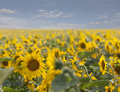 Sunflowers field dof of for oil production Royalty Free Stock Photography