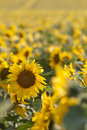 Sunflowers field dof of for oil production Royalty Free Stock Image