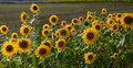 Sunflowers at the field edge Royalty Free Stock Photo