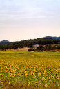 Sunflowers field and farmhouse Royalty Free Stock Image