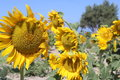 Sunflowers a field of header banner or greeting card Royalty Free Stock Photos