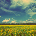 Sunflowers field landscape vintage retro style under blue sky with clouds Royalty Free Stock Photo