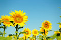 Sunflowers in the field ourdoors Stock Photography