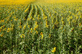 Sunflowers field the of in russia Stock Images