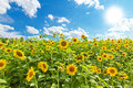 Sunflowers field of in summer Royalty Free Stock Photo