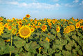 Sunflowers at the field in summer Royalty Free Stock Photography